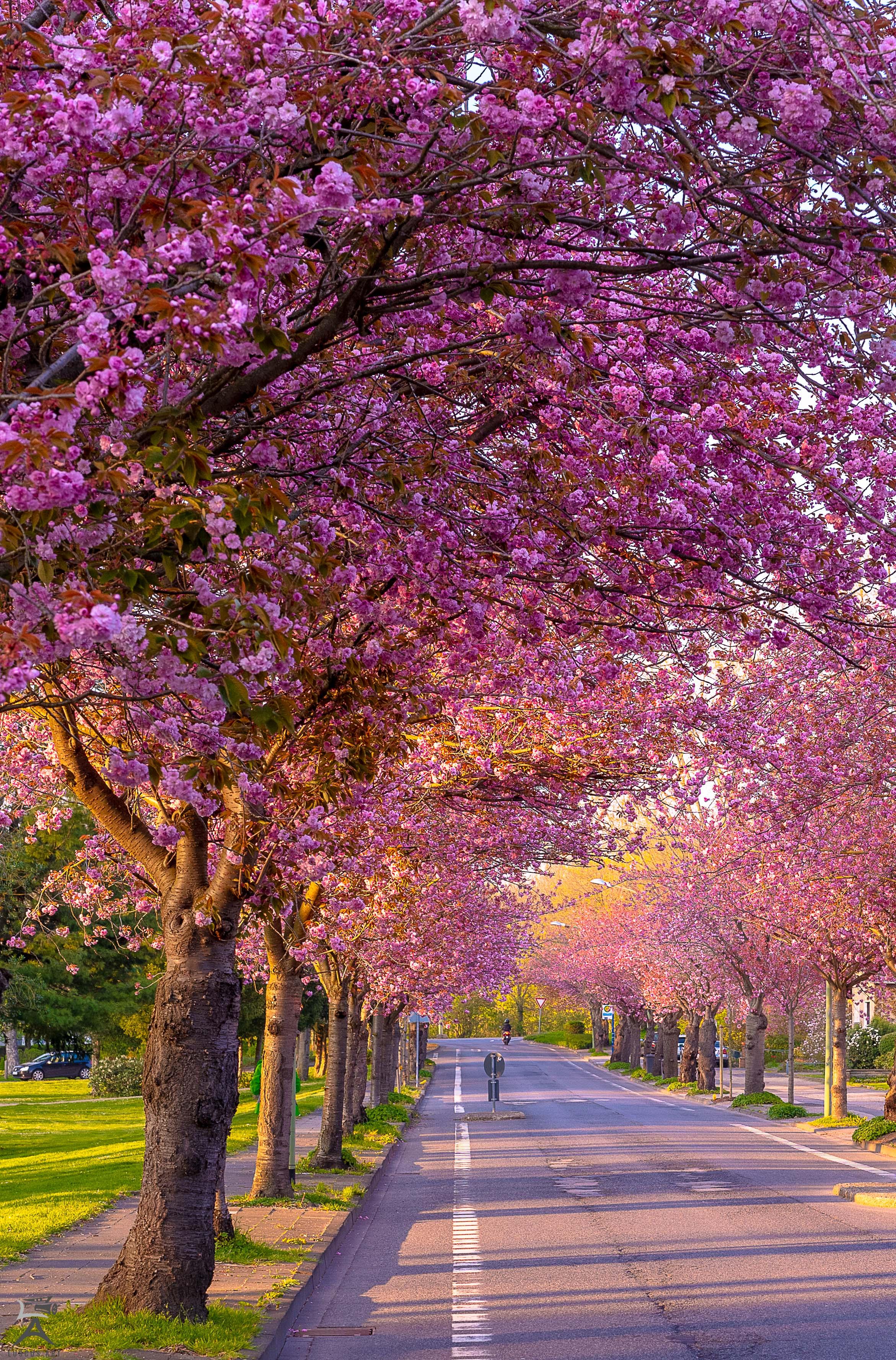 Kirschblüte, Düren