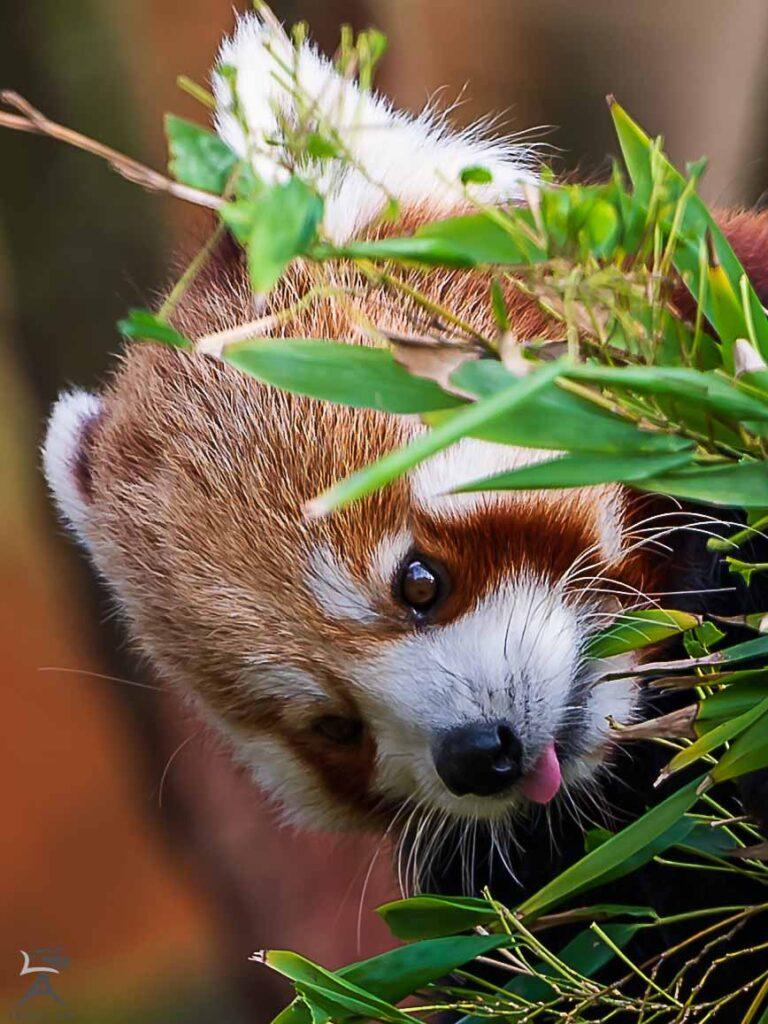 roter Panda Gaia Zoo